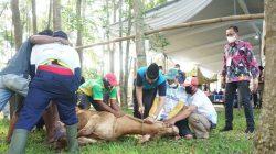 Universitas Lampung Bagikan Daging 29 Ekor Hewan Kurban